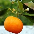 Mein Orangenbäumchen m...