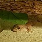 Gecko oder Baby-Alligat...
