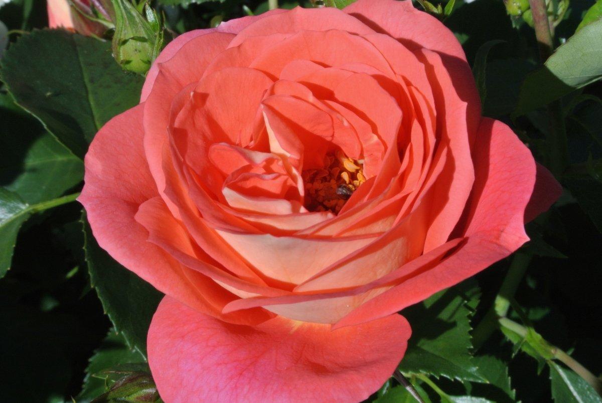 Insekt in den Blütenpollen