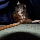 Pediküre auf Rattenart...