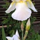 Iris barbata-elatior, '...