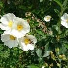 Cistrosen im Botanische...