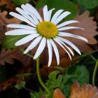 Daisy Star
