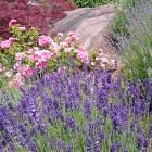 Lavendelbouquet am Arbe...