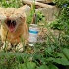 Der Löwe verteidigt se...