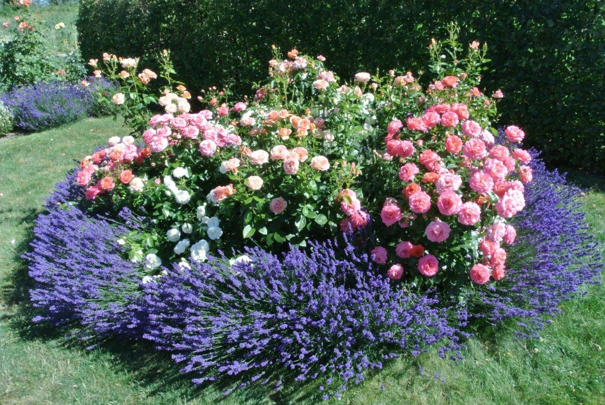 Mein Rosenrondell mit Lavendelumgrenzung