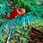 Malediven-Anemonenfisch...