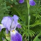 vermutlich Iris germani...