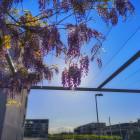wisteria_1