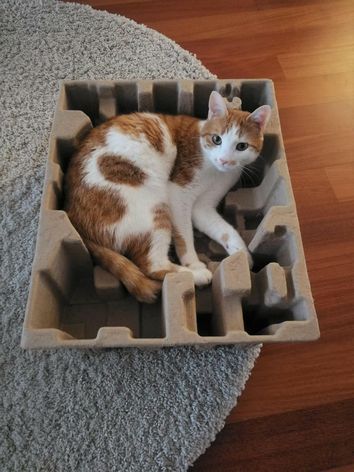 Schachtel-Kätzchen