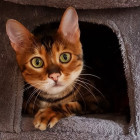 Achilles the Toyger