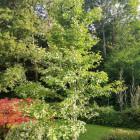 Ginkgo Baum aus einem 5...