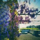 wisteria_2
