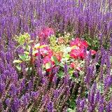 Lavendel18