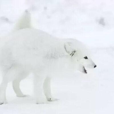 Polarrfox