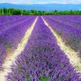 Lavender37